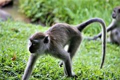 Affe, der auf Wiese im Wald spielt stockfotografie