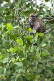 Affe, der auf Wildfrüchte einzieht Stockfotografie