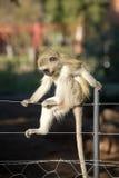 Affe, der auf Zaun aufwirft Lizenzfreie Stockfotos