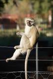Affe, der auf Zaun sitzt Stockfoto