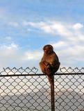 Affe, der auf Zaun sitzt Lizenzfreie Stockfotos