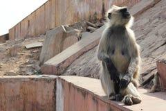 Affe, der auf zerbröckelnder Steinwand sitzt Stockfotos