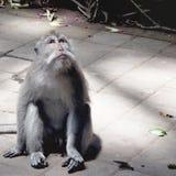 Affe, der aufwärts schaut Lizenzfreie Stockfotos