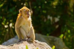 Affe, der aus Kamera heraus schaut Lizenzfreies Stockbild