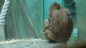 Affe, der Baby in ihren Armen hält stock footage