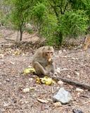 Affe, der Banane im Wald isst Lizenzfreies Stockbild
