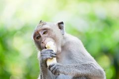 Affe, der Banane isst Lizenzfreie Stockfotografie