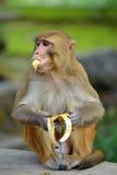 Affe, der Banane isst Lizenzfreies Stockbild