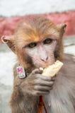 Affe, der Banane isst Stockfotos