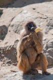 Affe, der Banane isst Stockbild