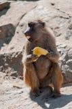 Affe, der Banane isst Lizenzfreie Stockfotos