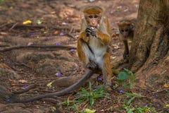 Affe, der Banane isst Lizenzfreies Stockfoto