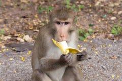 Affe, der Banane isst Long-tailed Macaque Lizenzfreies Stockbild