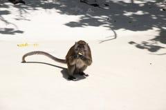Affe, der Banane - Strand auf Thailand isst Lizenzfreies Stockfoto