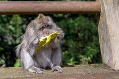 Affe, der Bananen in Bali, Indonesien isst Stockfotografie