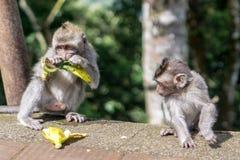 Affe, der Bananen in Bali, Indonesien isst Stockbild