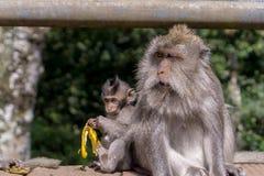 Affe, der Bananen in Bali, Indonesien isst Stockfoto