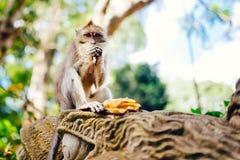 Affe, der Bananen im natürlichen Lebensraum genießt Lizenzfreie Stockbilder