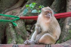Affe, der beim Verkratzen seines Bauches gebohrt schaut Stockfotos