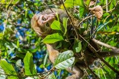 Affe, der Blätter auf dem Baum isst Lizenzfreie Stockfotografie