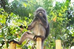 Affe, der Blätter isst Stockfoto