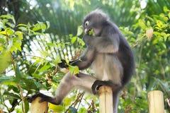 Affe, der Blätter isst Lizenzfreie Stockbilder