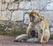 Affe, der das Baby einzieht Stockfoto