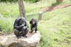 Affe, der das Mittagessen isst Stockfoto