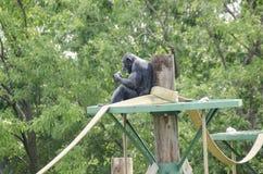 Affe, der das Mittagessen isst Lizenzfreies Stockfoto