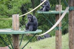 Affe, der das Mittagessen isst Lizenzfreie Stockfotos