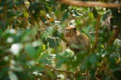 Affe, der in den Bäumen sitzt Affe in Vietnam Lizenzfreie Stockfotos