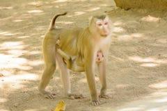 Affe, der den Babyaffen hält Lizenzfreie Stockfotografie