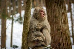 Affe, der in den Schnee-Bäumen sitzt Stockfoto