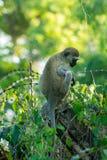 Affe, der den Zaun in Afrika klettert Stockfotografie