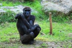 Affe, der den Zuschauer betrachtet Stockbilder