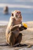 Affe, der in der Hand Mais hält Lizenzfreie Stockbilder