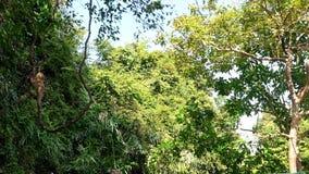 Affe, der an der Liane im Tieflandregenwald hängt stock video footage