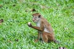 Affe, der in der natürlichen Umwelt isst Lizenzfreies Stockbild