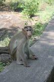 Affe, der in der natürlichen Umwelt sich entspannt Lizenzfreies Stockfoto