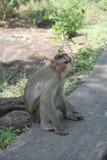 Affe, der in der natürlichen Umwelt sich entspannt Stockfoto