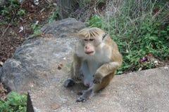 Affe, der in der natürlichen Umwelt sich entspannt Stockfotos
