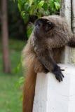 Affe, der die Bewegung aufpasst Stockbilder