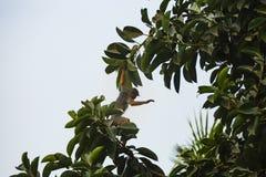 Affe, der durch Baum sich bewegt Lizenzfreies Stockbild