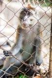 Affe, der durch die Stangen schaut Lizenzfreies Stockbild
