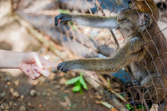 Affe, der durch die Stangen schaut Stockbild