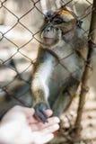 Affe, der durch die Stangen schaut Lizenzfreie Stockfotos