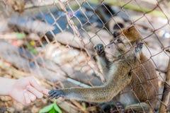 Affe, der durch die Stangen schaut Lizenzfreie Stockfotografie