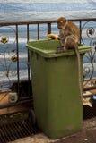 Affe, der durch einen Abfalleimer sucht Lizenzfreies Stockfoto