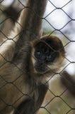 Affe, der durch Käfig die Hauptrolle spielt Lizenzfreie Stockbilder