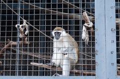 Affe, der durch Zoo schaut Stockbild